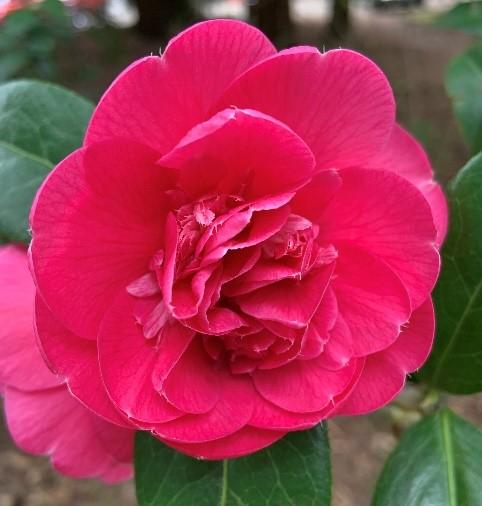 Camellias_1
