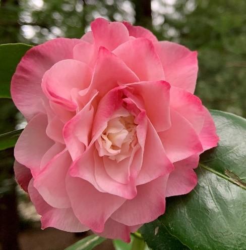 Camellias_2