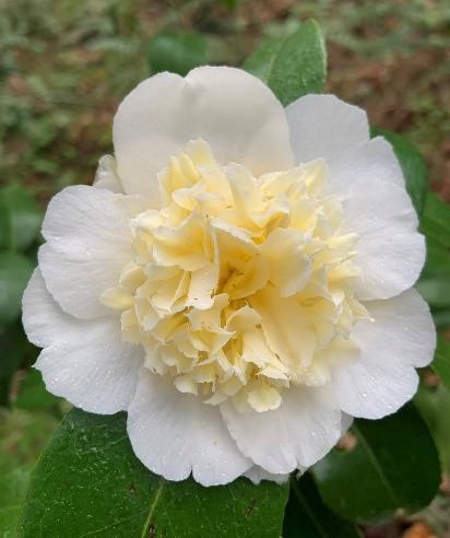 Camellias_3