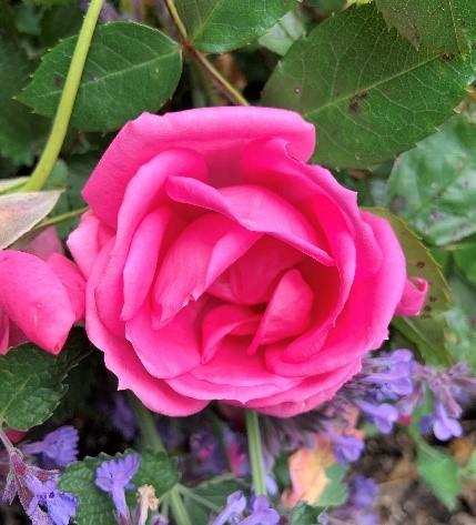 Old_Garden_Roses_1