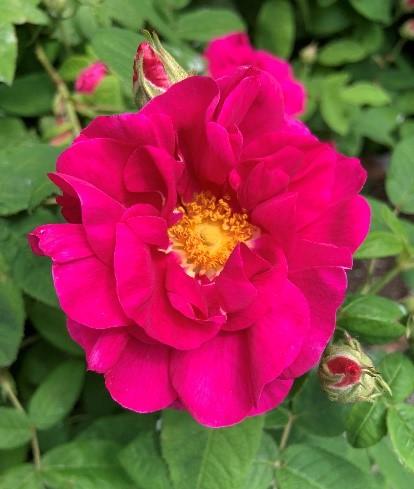 Old_Garden_Roses_3