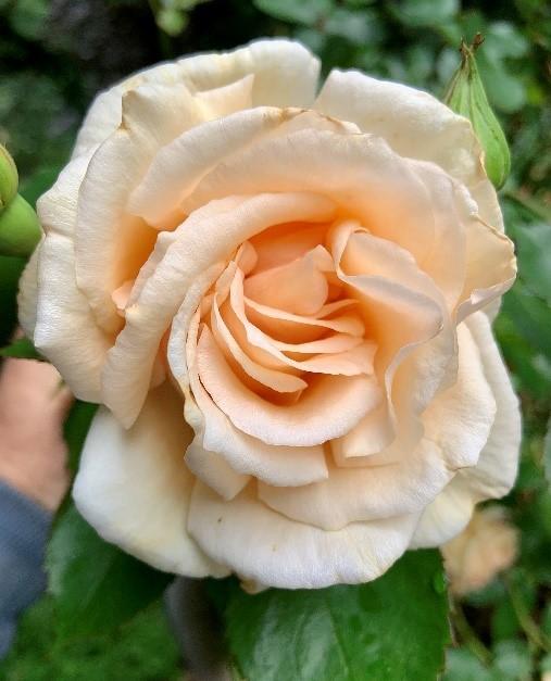 Old_Garden_Roses_4
