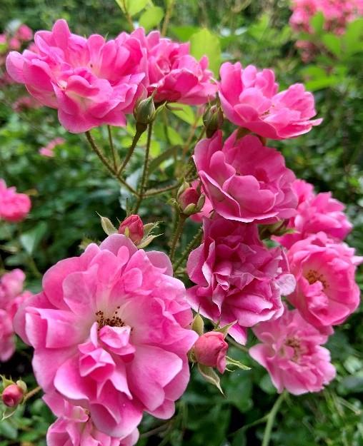 Old_Garden_Roses_5