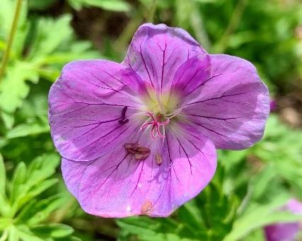 Perennial_Geranium-Deciduous_Perennial